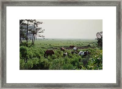 Assateague Herd 2 Framed Print by Joann Renner
