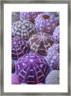 Assorted Sea Urchins Framed Print by Garry Gay