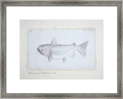 Asterophysus Batrachus Framed Print by Natural History Museum, London