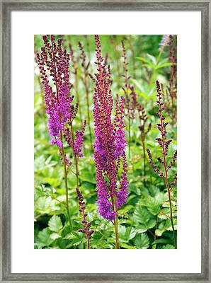 Astilbe Chinensis 'purpurlanze' Framed Print by Adrian Thomas