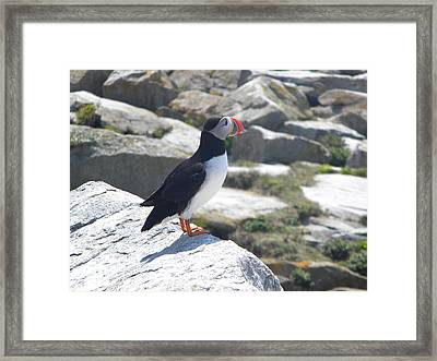Atlantic Puffin 3 Framed Print by James Petersen