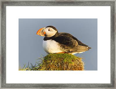 Atlantic Puffin Iceland Framed Print by Peer von Wahl
