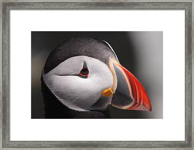 Atlantic Puffin Portrait Framed Print by Bruce J Robinson