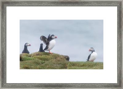 Atlantic Puffins Fratercula Arctica Framed Print by Panoramic Images