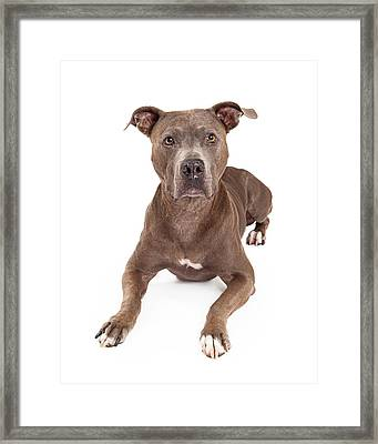 Attentive American Staffordshire Terrier Dog Laying Framed Print by Susan  Schmitz