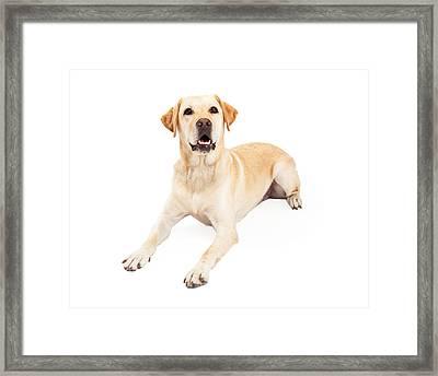 Attentive Labrador Retriever Dog Laying Framed Print by Susan  Schmitz