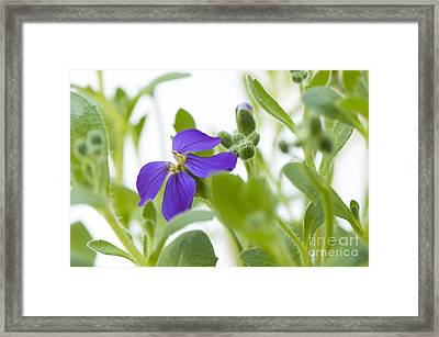 Aubretia Framed Print by Anne Gilbert