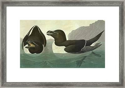 Audubon Razorbill Framed Print by Granger