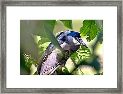 Aukuu  Or Black Crowned  Night Heron Framed Print by Dan McManus