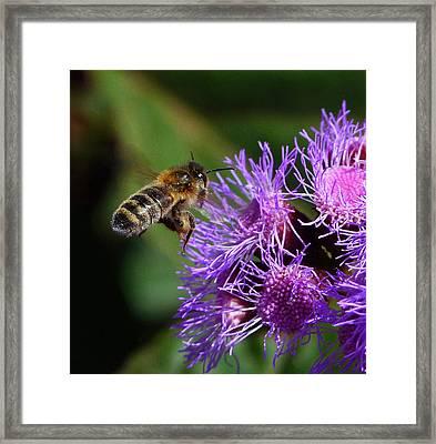 Australian Bee Arriving At Flower Framed Print by Margaret Saheed