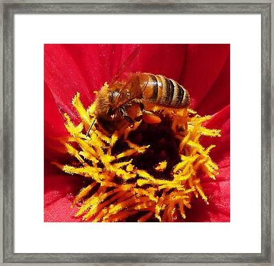 Australian Bee Enjoying Dahlia Pollen Framed Print by Margaret Saheed
