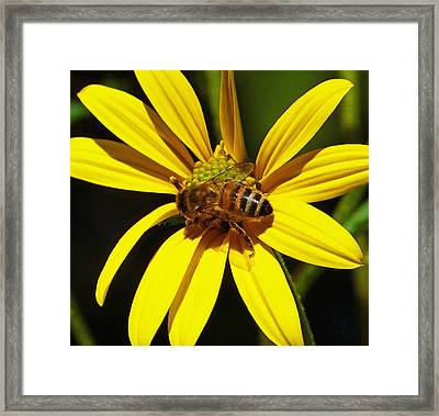Australian Bee Snacktime Framed Print by Margaret Saheed