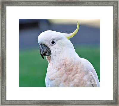 Australian Birds - Cockatoo Framed Print by Kaye Menner