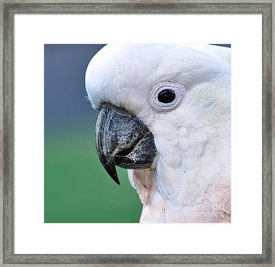 Australian Birds - Cockatoo Up Close Framed Print by Kaye Menner