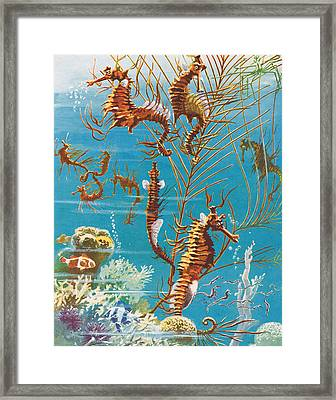 Australian Seahorses Framed Print by Leonard Robert Brightwell
