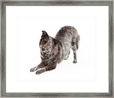Australian Shepherd Mix Breed Dog Bowing Framed Print by Susan Schmitz