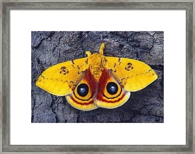 Automeris Io Silk Moth Framed Print by Robert Jensen
