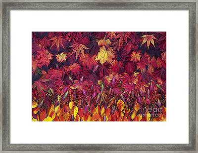 Autumn Acer Leaves Pattern Framed Print by Tim Gainey