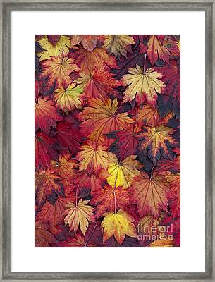 Autumn Acer Leaves Framed Print by Tim Gainey