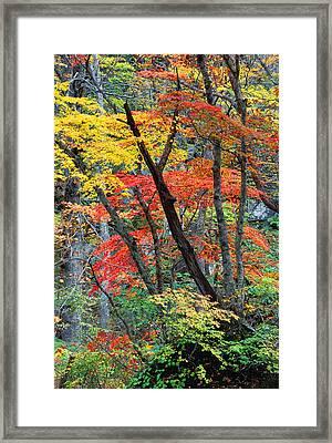 Autumn Color Japan Maples Framed Print by Robert Jensen