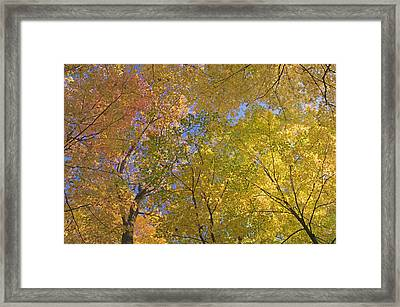 Autumn Color Maple Tree Canopy, Mille Framed Print by Panoramic Images