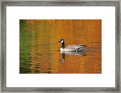Autumn Goose Framed Print by Patrick Friery