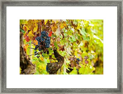 Autumn Grape Harvest Season Framed Print by Susan Schmitz