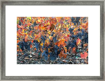 Autumn Grapes Framed Print by Carol Groenen