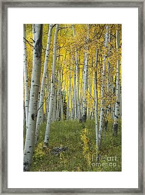 Autumn In The Aspen Grove Framed Print by Juli Scalzi