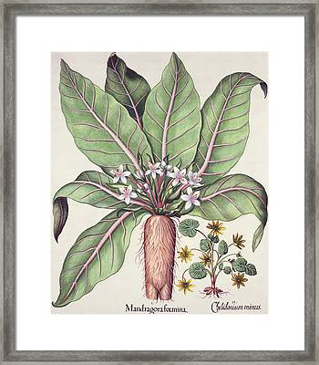 Autumn Mandrake, From The Hortus Framed Print by German School