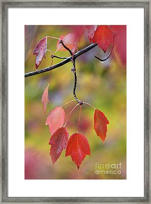 Autumn Maple - D008640 Framed Print by Daniel Dempster