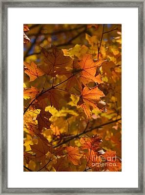 Autumn Maple Leaves 1 Framed Print by Fiona Craig