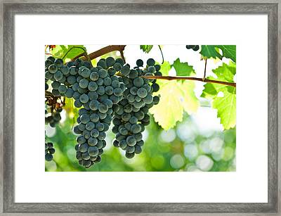 Autumn Ripe Red Wine Grapes Right Before Harvest Framed Print by Ulrich Schade