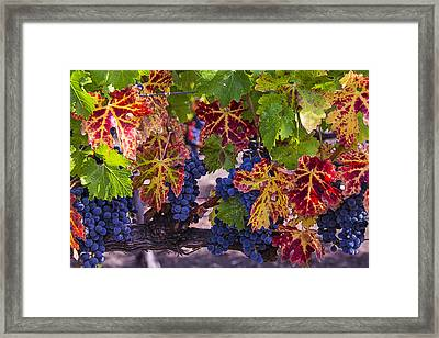Autumn Wine Grape Harvest Framed Print by Garry Gay