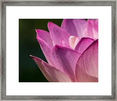 Awakening Lotus Framed Print by Jon Woodhams
