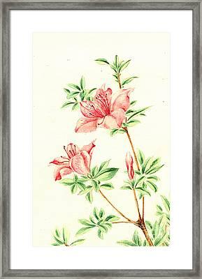 Azalea 1870 Framed Print by Padre Art
