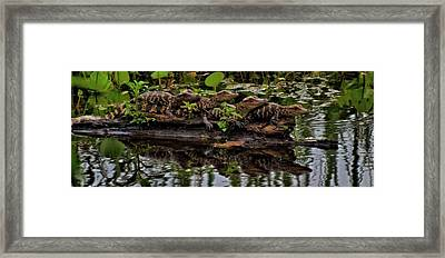 Baby Alligators Reflection Framed Print by Dan Sproul