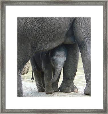 Baby Asian Elephant With Mother Framed Print by Margaret Saheed