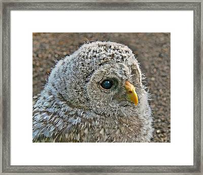 Baby Barred Owlet Framed Print by Jennie Marie Schell