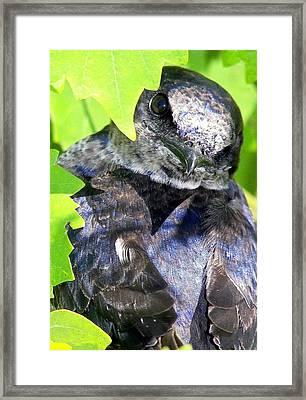 Baby Bluejay Peek Framed Print by Karen Wiles