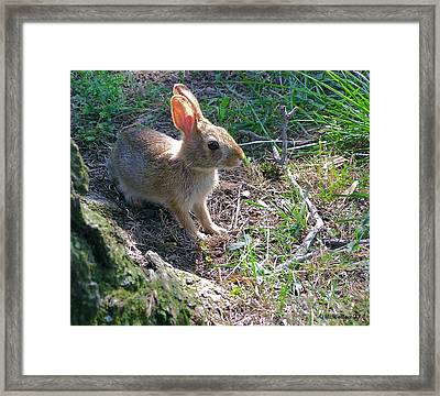 Baby Bunny Framed Print by Brian Wallace