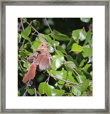 Baby Cardinal - 2 Framed Print by Christy Cox