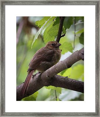 Baby Cardinal Framed Print by Christy Cox