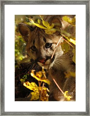 Baby Cougar Watching You Framed Print by Inspired Nature Photography Fine Art Photography