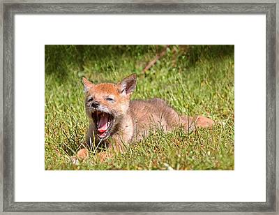 Baby Coyote Yawning Framed Print by Peggy Collins