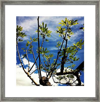 Baby Fig Framed Print by Stephanie Aarons