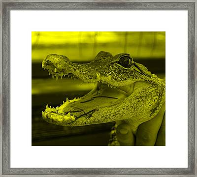 Baby Gator Yellow Framed Print by Rob Hans
