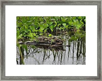 Baby Gators Framed Print by Dan Sproul