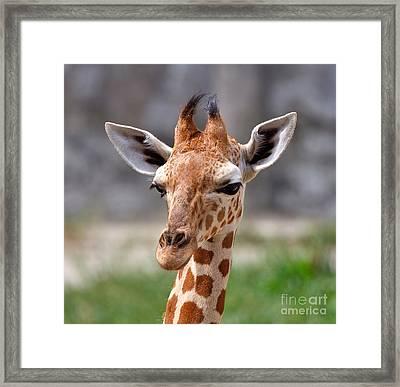Baby Giraffe Framed Print by Louise Heusinkveld