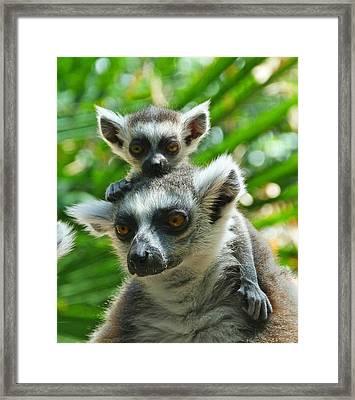 Baby Lemur Views The World Framed Print by Margaret Saheed